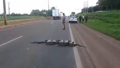 Sucuri de mais de 5 metros é filmada atravessando a BR 364 em Rondônia