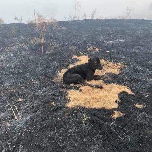 Vídeo mostra animais em desesperos para escapar de queimada em Rondônia
