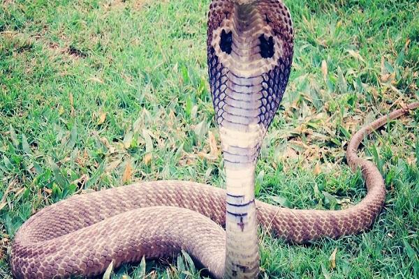 kingcobra4056231 3c5a528eaae165b30c987f2f97d40ae0 1200x600 1 - Homem morre após ser picado por cobra e devolver a mordida no réptil