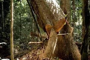 Trabalhador morre esmagado quando derrubava árvores